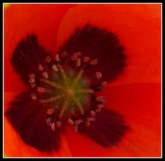 Poppy....Beautiful colour (sallysue007) Tags: red macro nature poppy naturesfinest flowerotica passionphotography masterphotos goldenmix flickrgold diamondclassphotographer flickrdiamond fickrdiamond citrit empyreanflowers flowerotia macromix defendersmacro wonderfulworldmix macromarvels goldstaraward