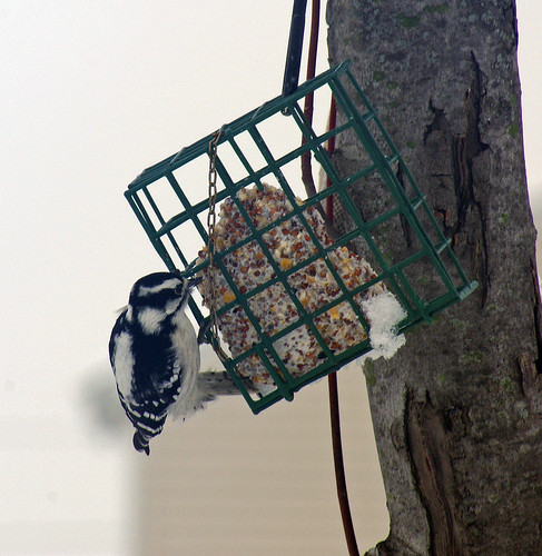 First Woodpecker