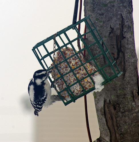 First Woodpecker
