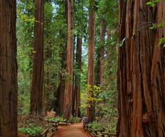 Redwoods 03 (Soller Photo) Tags: california old trees tree green nature forest woods muirwoods tall redwoods redwoodforest blueribbonwinner supershot abigfave superaplus aplusphoto superbmasterpiece ysplix sollerphoto theperfectphotographer