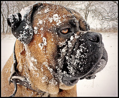 Blackwell.Snowday (Scottspy) Tags: winter pets snow dogs animals outside mastiff profile canine blackwell bighead bullmastiff largebreed scottspy