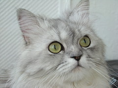 Marcello346 (akk_rus) Tags: pet cats pets animal cat silver persian chats feline chat sony chinchilla fabulous marcello dsc h9 mywinners kissablekat bestofcats dsch9 ilovemypics