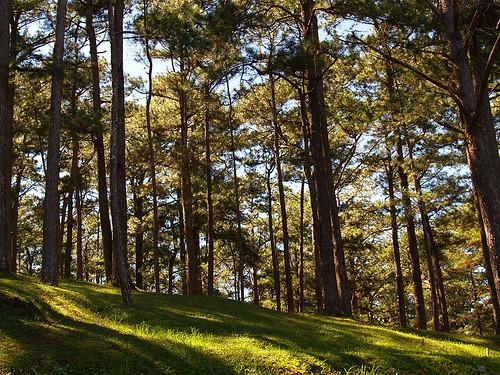 pine trees baguio city philippines