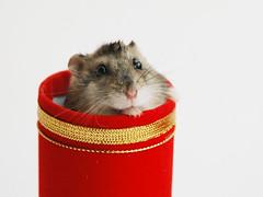 Happy Chinese New Year! (EricFlickr) Tags: pumpkin taiwan chinesenewyear hamster 2008 hammy 新年 過年 春節 倉鼠 金元寶 鼠來寶 金鼠年