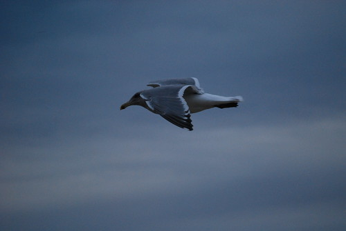 Storm Gull