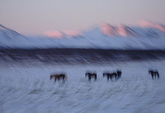 icewolves (apalucia) Tags: winter horses horse mountain snow motion blur cold ice nature beauty animals landscape island cheval evening frozen iceland cool europe dusk 5 five north arctic pony freeze chilly ponies nordic pferd chill froid sland equine mane icelandic naturalphenomena northerly hestur icelandichorses hoofed apalucia horsesinagroup