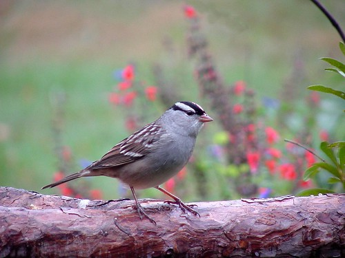 White-crowned Sparrow 10-23-2005 Warren Co.