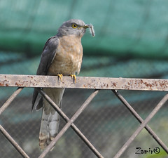 Common Hawk Cuckoo (Hierococcyx varius) (Z.Faisal) Tags: bird nikon hawk beak feathers aves dhaka nikkor bangladesh cuckoo avian bipedal bangla faisal desh d300 zamir mirpur pakhi commonhawkcuckoo endothermic nikkor18200mmvrii chokgallo zamiruddin zamiruddinfaisal zfaisal