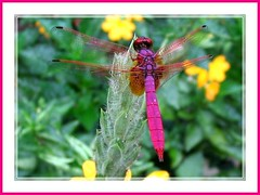 Trithemis aurora (Crimson or Dawn Dropwing)