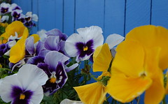 Pansies (MettaMomma) Tags: flowers blue yellow colorful blossoms vivid urbannature pansies