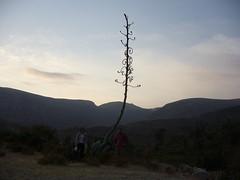 Huaynacotas arbre