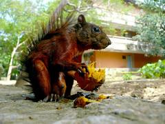 Serious pocket monster (-Passenger-) Tags: urban nature fauna de squirrel colombia dof bokeh mango universidad ardilla medellín antioquia cruzadas udea