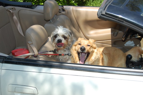 Dogs in a convertible.