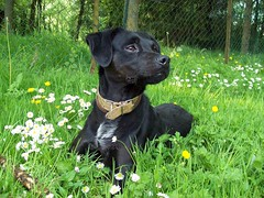 Athos: je suis beau non? (scotdidine) Tags: dog chien black nature face animals grate expression beautifuldog athos mylove ilovemypet compagnon wowiekazowie ahistoryoflove adorablechien