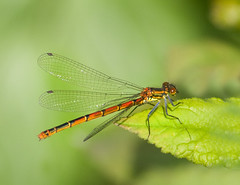 Dragonfly (Theresa Elvin) Tags: male nature garden insect spring pond dragonfly picturesque doncaster potofgold pyrrhosomanymphula abigfave reddamselfly colourartaward peachofashot