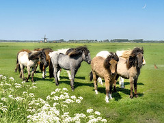 Icelandic horses in North Holland (Bn) Tags: topf25 windmill topf300 loveit haas soe topf200 springtime noordholland featured galope fluitenkruid blueribbonwinner moonbydaylight supershot 200faves dutchscenery 25faves abigfave 300faves anawesomeshot aplusphoto diamondclassphotographer flickrdiamond egmondaandenhoef megashot goldstaraward magicdonkeysbest beautifulsecrets frskjalaritara firstquartermoon12may2008 paardenindeweide horsesinthefield ijslanderstoeterijfrskjalaritara eerstekwartiervandemaan