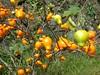 96.11.16竹崎鄉光華村茄苳風景區內的茄苳老樹DSCN3306