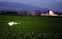 Aterrizando (fertraban) Tags: asturias gaviota campos tapia asturies volar ltytr1