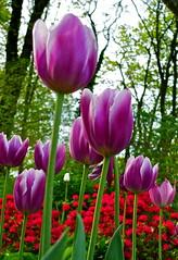 purple (psstpacs) Tags: park nyc newyorkcity flowers ny newyork centralpark manhattan midtown flowermacro panasoniclumixlx3