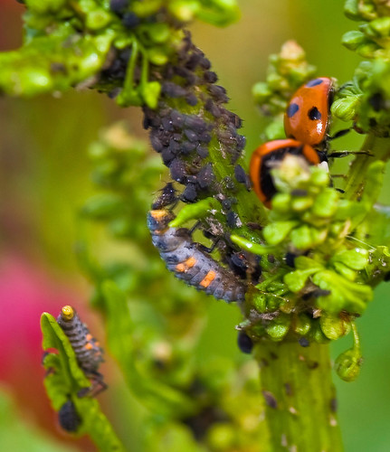 Ladybug larvae with its aphid dinner!