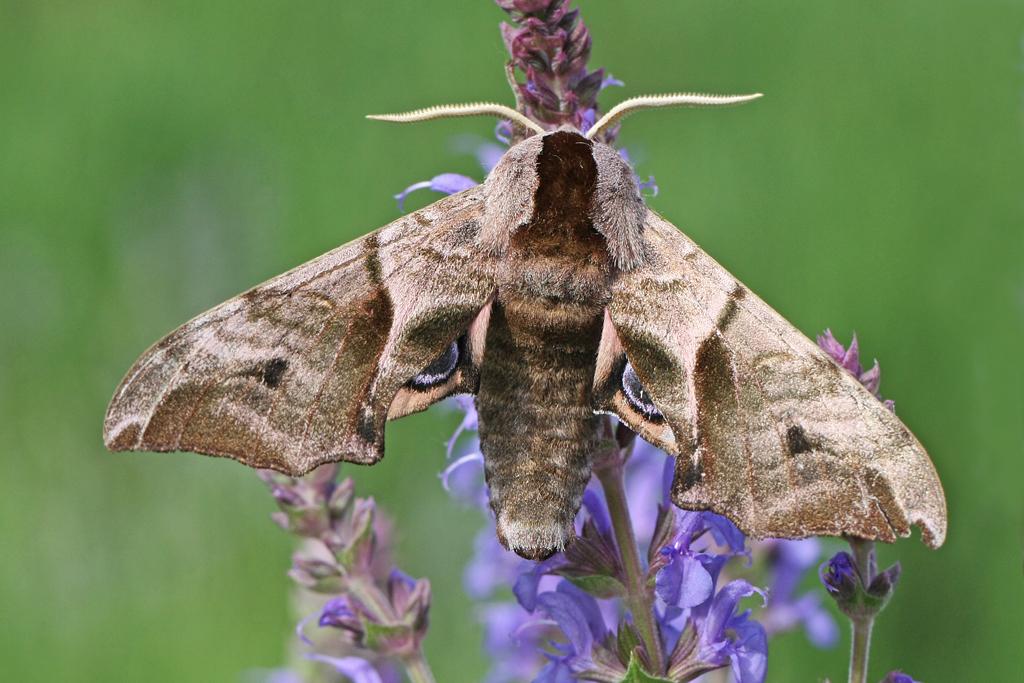 Garden mothing #19, 28 May