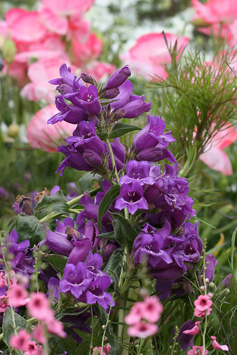 penstemon cobaea2