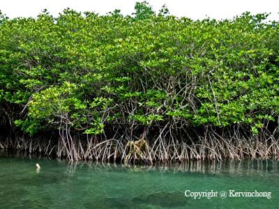 Redang-Mangroves