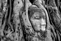 Bodhi tree with Budha (pranav_seth) Tags: tree thailand buddha roots unescoworldheritagesite ayuthaya budha figtree bodhi ayutthaya bodhitree watmahathat ayuddhia lordbudha smilingbudha