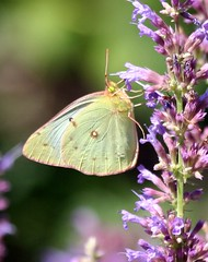 Yellow Sulfur Butterfly (Cindy シンデイー) Tags: yellow butterfly sulfur goldstaraward