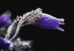 Prairie Crocus (BugMan50) Tags: soe abigfave shieldofexcellence lightstylus