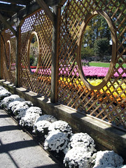 mums biltmore gardens