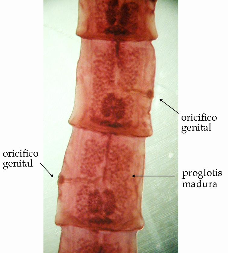 neg genital? | Forumul Medical ROmedic