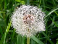 Blowball (Thermioc) Tags: nature blowball