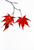 family (helveticaneue) Tags: thanksgiving november red tree leaves maple japanesemaple 2007 trevotron