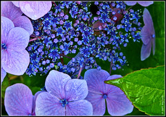 """Green Leaf on Blue Flowers"" (roy_mac_an_iarla) Tags: blue flower nature leaf flora hydrangea lacetop naturethroughthelens"