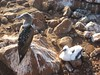 Blue footed boobie with baby