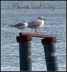 Peace and Joy (makeupanid) Tags: featheryfriday peaceandjoy bonapartesgull bogu ringbilledgull rbgu togetherness notthesizedifference gulls hangingout