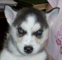 ALABAMA ROSE (angela_1964) Tags: puppies husky blueeyes huskies siberian