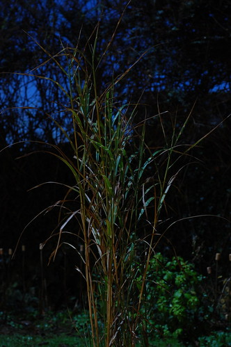 Miscanthus sinensis at night