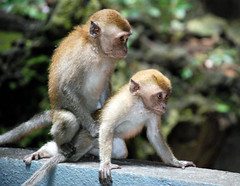 Just think of England (Jean-Franois Chnier) Tags: animal fauna monkey malaysia mating batucaves singe macaque singes malaisie  crabeatingmacaque  scimmia     jfcpix