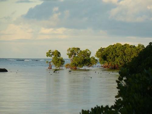 Mangrove Poindimie