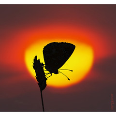 sleeping in the sun (olaf gunderson) Tags: sleeping naturaleza sun sol nature butterfly explorer olympus andalucia papillon borboleta 300 70 mariposas zuiko farfalla mlaga dg sommerfugl schmetterling papilio mbm motyl firstquality espaaspain owl165 olafgunderson zuiko70300 fotosemanauro explorer07042008 kebelek