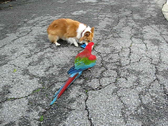 kaley n rani macaw..who gets the frisbee? (sansanparrots) Tags: video interestingness corgi play parrot explore exploreinterestingness macaw 2008 rani chowtime kaleycorgi