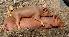 Seriously, Gellert! (LisaNH) Tags: heritage pig outdoor farm nh explore slowfood hog piggyback humane tamworth pastured i500 grassfed albc mackhillfarm wtmwchallengewinner thebestofday gününeniyisi humanelyraised growfood arkoftaste