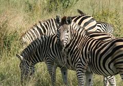 zebra #1 (John Balcombe) Tags: africa south zebra kruger