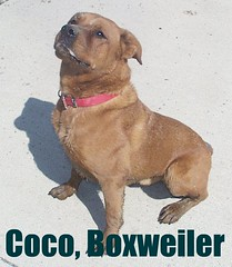 Coco (muslovedogs) Tags: dogs tank lacey mastweiler