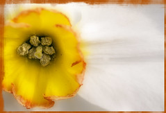 Coeur de narcisse (nathaliehupin) Tags: flowers fleurs narcisse keukenhof photographebruxelles nathaliehupin photographeluxembourg photographehainaut photographenamur photographeliege photographemons photographebelgique wwwnathaliehupinbe wwwnathaliehupingraphismebe