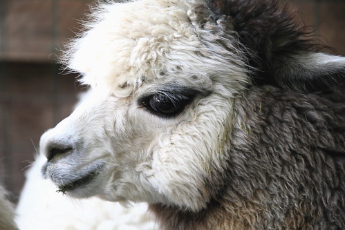 Alpaca eyelashes