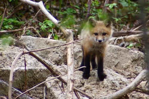 Fox Kit - 3