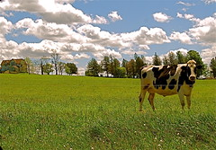 When the cows come home (Tomitheos) Tags: canada flickr may daily now today 2008 madcow countryhouse canadacountry blueribbonwinner abigfave anawesomeshot tomitheos griffinpoetryprize whenthecowscomehome cowgreengrass cloudsrural walkinginnatureand canadavictoriadaylongweekend cowhomehouseland poemspoetrylyrics photographwithapoem songstopics